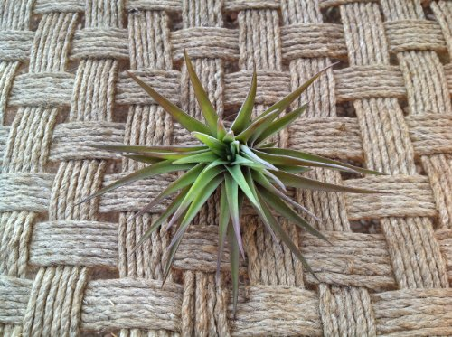 Airplant Velutina Tlllandsia (Grown and Shipped From California)