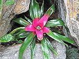 Neoregelia: Bromeliad