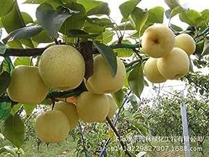 Al por mayor de semillas de pera de oro pera calidad de la fruta en maceta adecuado stock de Norte y Sur 50 semillas / Pack 7