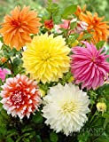 Dinnerplate Dahlia Super Mix