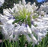 Exotic Plants Agapanthus praecox dwarf white - Schmucklilie - 10 Samen