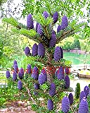 50 pcs Korean Fir,Abies koreana seed flower bonsai plant DIY home garden rare purple tree seeds for home garden planting