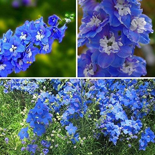 (60pcs Perennial Sky Blue Larkspur Seeds Delphinium Flower Seed)