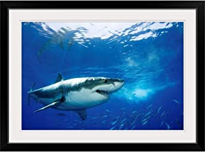 GREATBIGCANVAS Mexico, Guadalupe Island, Great White Shark (Carcharodon Carcharias) Black Framed Wall Art Prin.