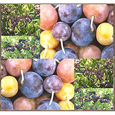 Verazui 5 or 100 x Beach Plum Shrub - Prunus maritima - Tree Seed Seeds - Delicious Bite Size Fruits - Zone 3-7 Cold Hardy (Pkt Size-5 Seeds) : Garden & Outdoor