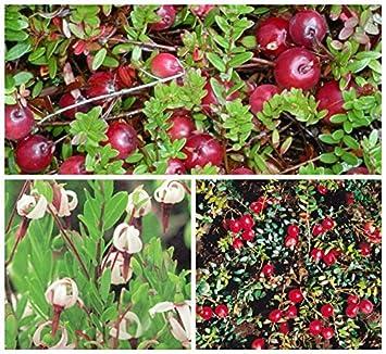 Berühmt Cranberry, Kranichbeere, großfrüchtige Moosbeere gesunde Pflanze &NK_61