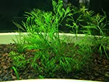 3 Water Sprite (Ceratopteris Thalictroides) Live Aquarium Stem Plant by G&Z