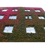 Boston Ivy Seeds 100pcs/lot 2016 HOT SALE Free Shipping Fun Green Red Boston Ivy Seeds Home Gardening Wholesale Free Shipping