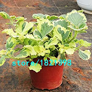 Rare Mosaic Mint Seeds Vegetable Seeds Balcony Potted Peppermint Aromatic Plant Seeds 200PCS