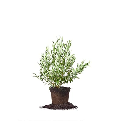 Perfect Plants Premier Blueberry Live Plant, 1 Gallon, Includes Care Guide: Garden & Outdoor