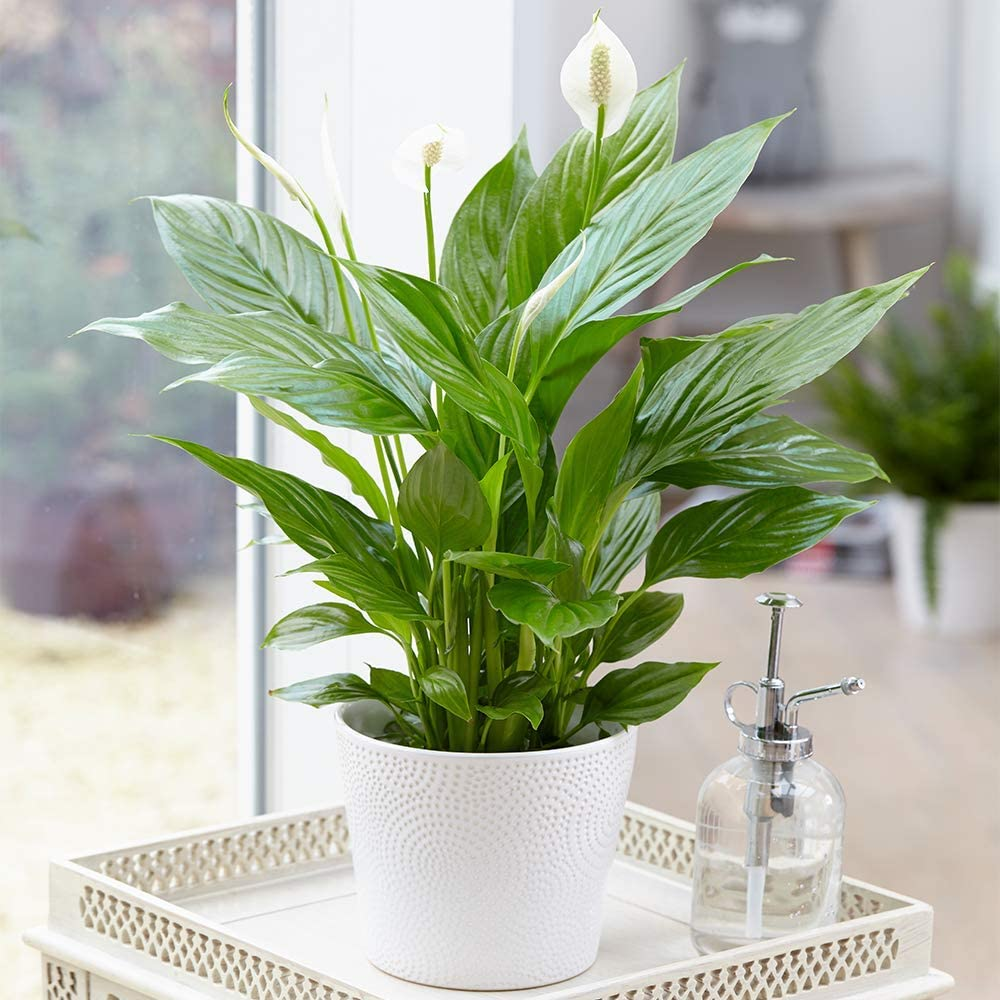 Spathiphyllum 'Peace Lily' Indoor Plants 1 x Potted Lily House Plant 9cm Pot