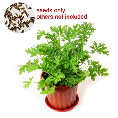 everd1487HH Flower Seeds, 100Pcs Citronella Plant Seeds Mozzie Buster Mosquito Repellent Decor, Desktop Potted Office Home Plant Planters Indoor Outdoor Decor -one : Garden & Outdoor