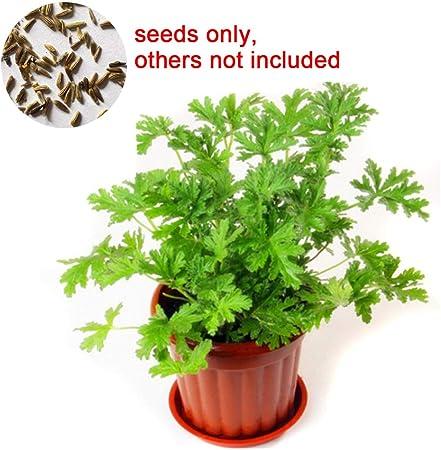 Amazon Com Loadsecr S Garden 100pcs Citronella Plant Seeds