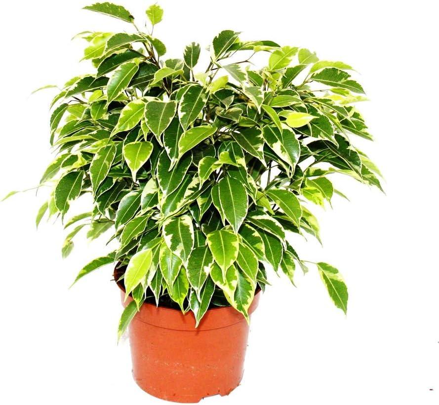 Ficus Benjamina Variegata Planta Natural de Interior Altura 30cm Maceta 12cm