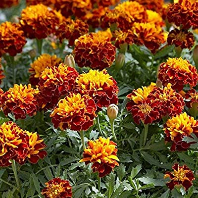 Outsidepride Marigold Flame Plant Flower Seeds - 500 Seeds: Garden & Outdoor