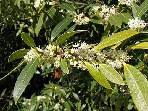 Fudingzhu Fragrant Tea Olive (Osmanthus) - Live Plant - 3 inch Pot by New Life Nursery and Garden