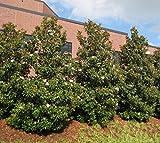 Brackens Brown Beauty Southern Magnolia Tree - 4 inch Pot
