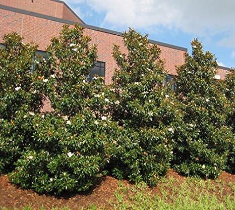 Amazon Com Brackens Brown Beauty Southern Magnolia Tree 4 Inch