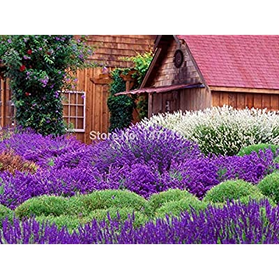 100pcs/bag Lavender Flower Bonsai Lavender Flower Bonsai: Garden & Outdoor