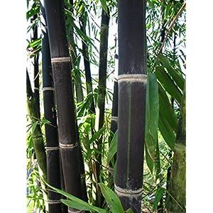 40 Giant Black Java Bamboo Seeds 17