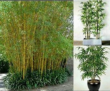 graines de plantes en pot Bonsai 100 graines de plantes Maison ...