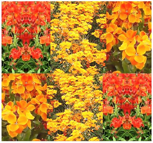 1,000 ENGLISH WALLFLOWER Flower Seeds Fragrant Bloom SUN or SHADE BORDER BEDDINGS