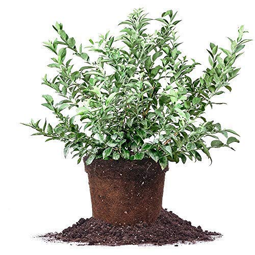 BRIGHTWELL Rabbiteye Blueberry Shrub- One of The Most Reliable Blueberries.Good for Baking and Fresh Eating (2 Gallon Bare-Root Set of Two Plants)