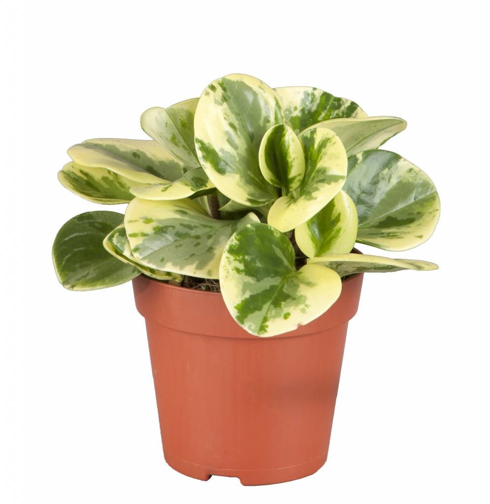 "Picture of Live Peperomia Variegated aka Peperomia obtusifolia Foliage Plant Fit 4"" Pot"