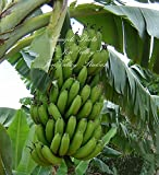 Musa paradisiaca 10 Banana Tree Seeds Plantain Tropical Container, Standard or Near water gardens Zone 8+ Deck Plant Fruit Trees