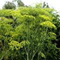 Dill Seeds herb (anethum graveolens) Annual, Flavoring Food Gardening Salting
