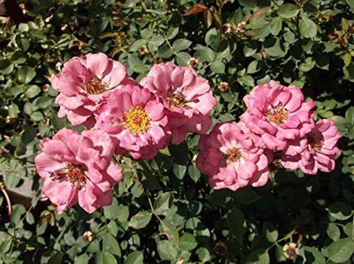 (Sachet Lavender Rose 1 Gal Live Bush Plants Miniature Shrub Plant Fine Roses)