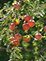 Dwarf Braeburn Apple Tree - Heavy producing, Easy Growing, and Delicious