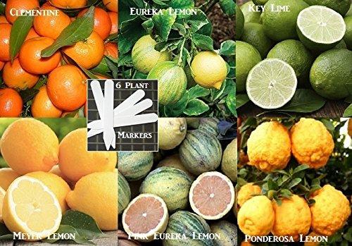 bulk-dwarf-citrus-seeds-key-lime-ponderosa-lemon-dwarf-meyer-dwarf-clementine-dwarf-euerka-dwarf-pin