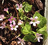 Oxalis Articulata Shamrock 1 Bulb - Clover Plant, Produces Purple Flowers
