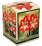Amaryllis Kit: Minerva + Plastic Pot/Soil/Bulb - Large Bulb 26/28 cm -Netherland