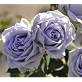 Colorful Rose hep Flower Seeds for Home Balcony Garden Yard Potted Decoration, 50 Seeds (Blue Dress)
