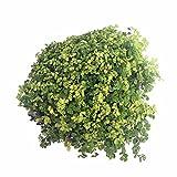 "Light Green Baby Tears Plant - 4"" Pot - Helxine - Terrarium/Fairy Garden/Houseplant"
