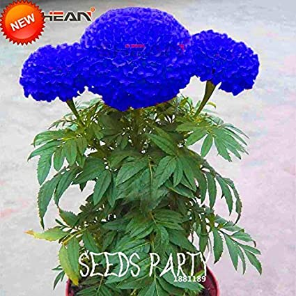 8550a5b971d Amazon.com : Sale!Blue Maidenhair Flower Seeds Potted Herb Garden Marigold  Chrysanthemum Bonsai Seeds 50 Seeds/lot, #77THVL : Garden & Outdoor