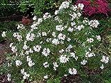 CHOISYA 'BLUESTONE'- FRAGRANT - STARTER PLANT