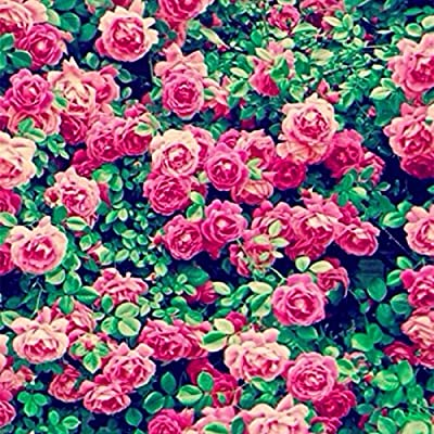 11.11 Promoción grande! 100 PC / porción rara Escalada color rosa china semillas de flores jardín árbol bonsai semillas de hierba y casa orgánico planta 1: Amazon.es: Jardín