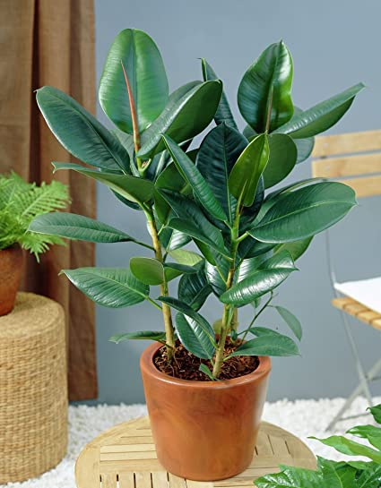 Image result for the rubber plant