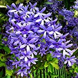 """Exoticflora Creepers And Climbers Petrea Volubilis Creepers & Climbers Healthy Live Plant With 6 Inches Fibre Pot (Real Flowering Creeper And Climber For Garden And Home)"""""""