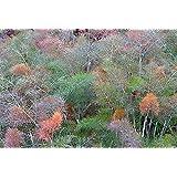 Bronzefenchel - Foeniculum vulgare Purpureum - Fenchel - 50 Samen