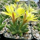 Mammillaria longimamma Cactus Cacti Succulent Real Live Plant PD