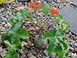 1 Well Rooted Plant of Jatropha Podagrica Buddha Belly - Rare Succulent Caudex Bonsai