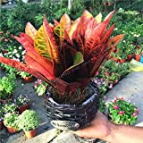 Codiaeum Variegatum Seeds Ornamental Plants The Budding Rate 90% Indoor Outdoor Available DIY Home Gardening 100 PCS