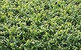 TEN Creeping/Climbing Fig, LIVE POTTED Plant, Ficus pumila repens, Fairy Garden