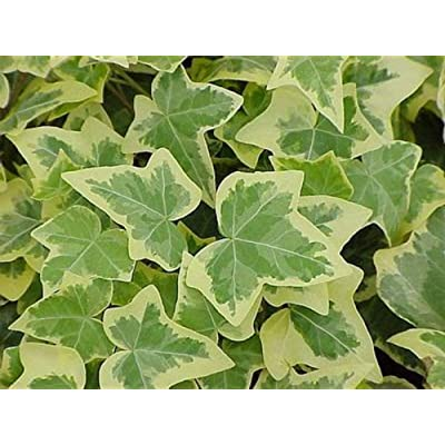 "Live Hedera English Ivy, Trailing Ivy Plant - Comes in 4"" Pot : Garden & Outdoor"
