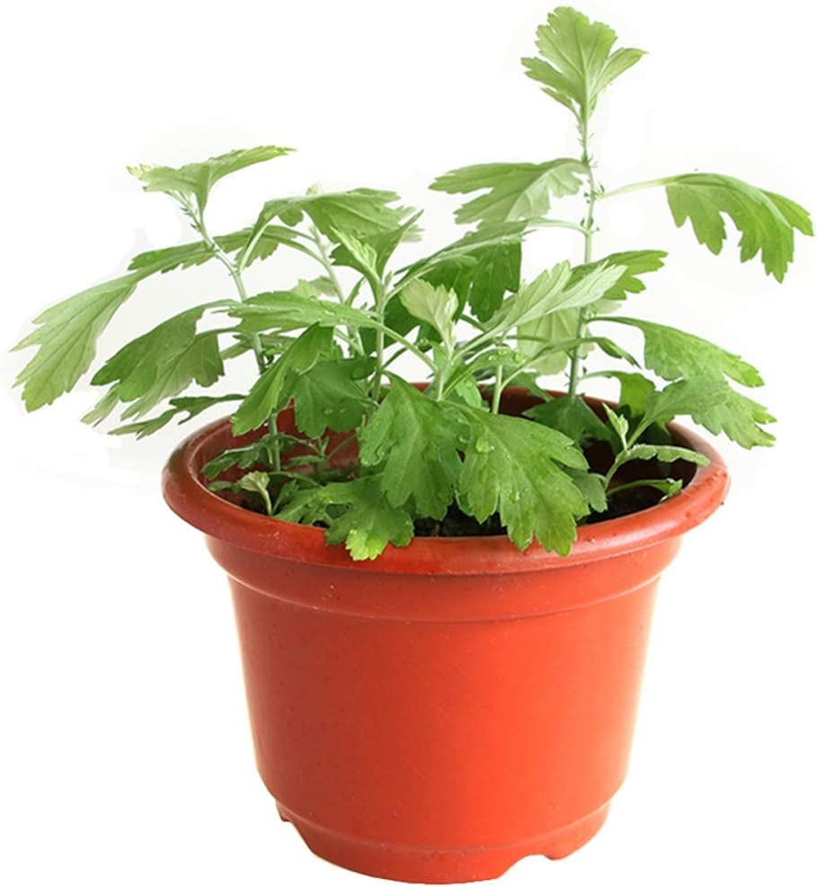 Wormwood Plants Seeds 50pcs Artemisia argyi Organic Fresh Herb Grass Edible Plants Seeds for Planting Garden Yard Home