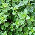 Common Italian Oregano Herb Garden Seeds - Non-GMO, Heirloom Herbal Gardening & Micro Greens Seed